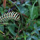 gosenica metulja lastovičarja...