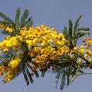 dišeča mimoza