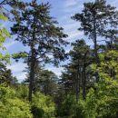vračanje proti Opčinam čez borov gozd