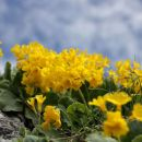 vrtovi avrikljev na Belski planini...