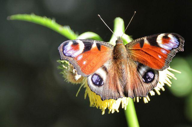 In čudovit metulj dnevni pavlinček
