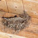 gnezdo lastovk pod cerkveno streho...