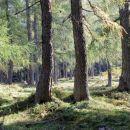 macesnov gozd na planini Ravne...