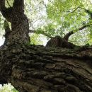 veličastno staro drevo nad gradiščem, predvidevam da je jesen?
