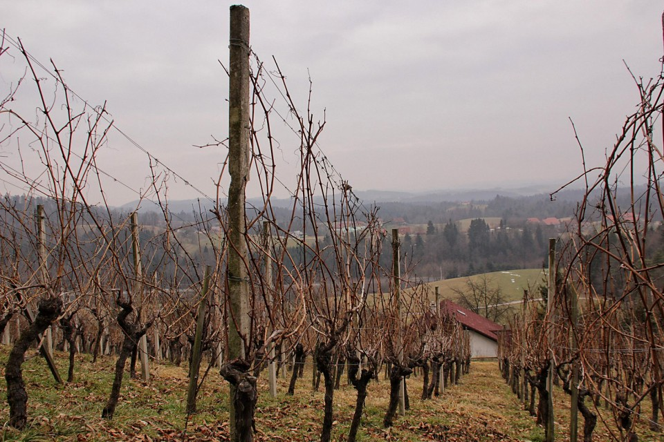med vinogradi in zidanicami proti sv. uršuli
