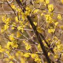 dren v polnem cvetu