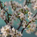 cvetoča pomlad ob morju