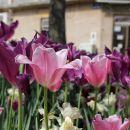 čudovita barva tulipanov v novem vinodolskem