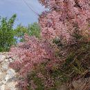 cvetoča tamariska