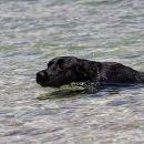 črni morski pes