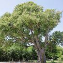 zanimivo drevo ob cesti v Vrbnik...