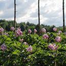 cvetoči krompir