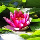 na vodi cvetoči lokvanji